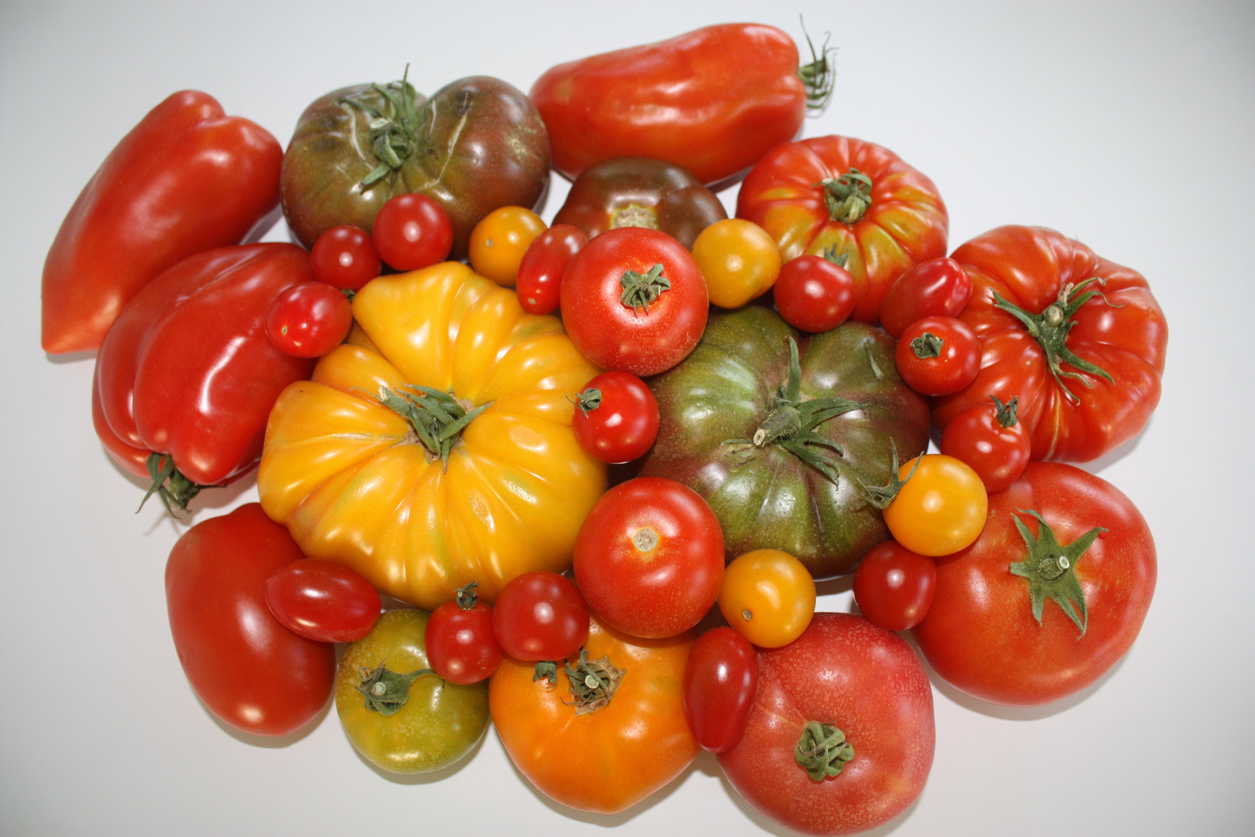 Plein soleil sur les tomates!